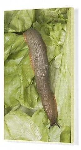 Canvas Print of Common Large Garden Slug - On lettuce