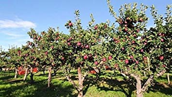 PlenTree 8 Samen von Apfel Red Delicious