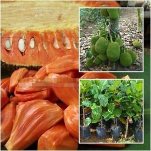 All Season Gardens Rare Red Flesh Jack fruit (,PathaMuttom Varikka),Super Tasty Kerala Variety Jackfruit 1 Live Plant