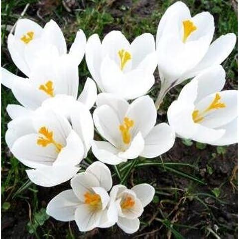 Codinex (TM) Crocus Bulbi Mix Viola Bianco Giallo perenni Crocus Bulbi Belle Fiori viola