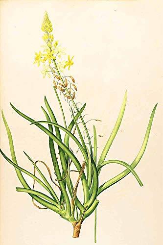 JH Lacrocon Pierre-Joseph Redoute - Anthericum Frutescens Leinwandbilder Reproduktionen Gerollte 40X60 cm - Blume Gemälde Gedruckt Wandkunst