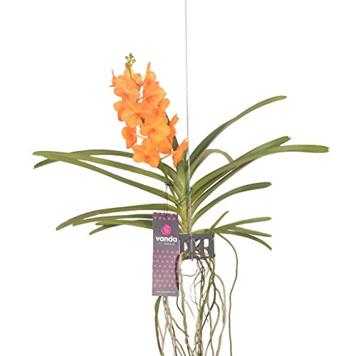 FloraStore - Vanda Natcha Magic Orange 40 cm (1x), Plante d'Intérieur