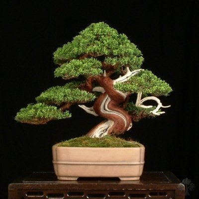 Imported Juniper (Juniperus Chinensis)  Bonsai Seeds -By Creative Farmer