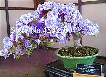 VISA STORE 100 Stück Exotische AZEA Bonsai, Misch Rhododendron AZEA, AZEA Bonsai Samen DIY Seedssseed für Hausgarten: 1