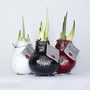 Amaryllis xxl gewachst rot zimmerpflanzen zwiebeln for Ausgefallene zimmerpflanzen
