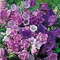 Marien-Glockenblumen Cup and Saucer, Mischung, 1.250Samen von Nuts n' Cones bei Du und dein Garten