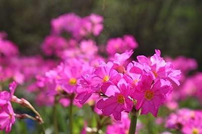 Wasserpflanzen Wolff - Primula rosea - Rosenprimel - Sumpfprimel, rosa von Wasserpflanzen Wolff bei Du und dein Garten