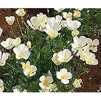 PlenTree De amapola blanca SÃBANAS (Eschscholzia californica) - 500 semillas
