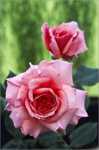 Posterlounge Hartschaumbild 40 x 60 cm: Blüten Einer Kletterrose von Archie Young/Science Photo Library