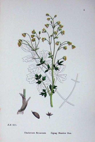 Zickzack Wiesenraute-Botanik Pflanzt Farbe des Thalictrum-C1902
