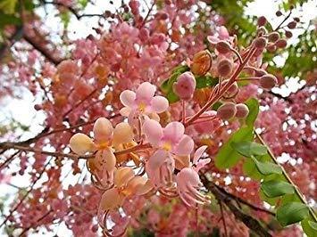 PlenTree Cassia Grandis 15/25/100 Graines, Corail Tropical Douche Flowering Tree Wow!