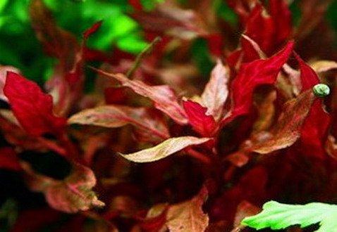 NEU! Kleines rosanerviges Papageienblatt / Alternanthera 'Rosanervig'