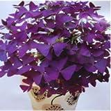 100 Red Oxalis acetosella Fiore Oxalis viola trifoglio 100% semi di bonsai reale di fiori perenni all'aperto per…