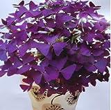 100 Rotes Oxalis Holz Sauerampfer Blumen Oxalis Lila Kleeblatt-Klee-100% reale Blume Bonsai Samen Staude im Freien für Hausgarten 3