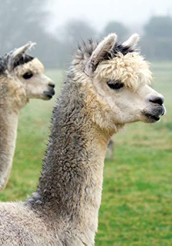 3 D Ansichtskarte Alpakas Postkarte Wackelkarte Hologrammkarte Wildtiere Zootiere Alpaka Lama
