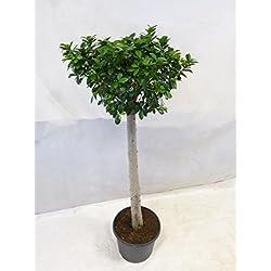 [Palmenlager] - Ficus microcarpa GINSENG 160 cm - XXL Hochstamm // Zimmerpflanze