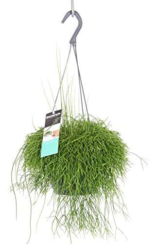 Korallenkaktus (Rhipsalis cassutha), pflegeleichte Zimmerpflanze, hängend, schöne Pflanze (in der 14cm Hängeampel)