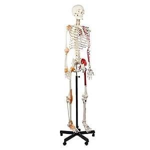 Cranstein A-125 Muskel Skelett-Modell lebensgroß 180cm mit Muskelbemalung,...