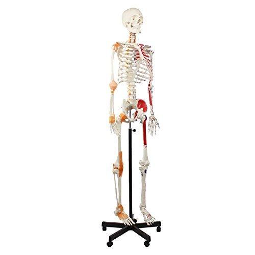 S24.1250 esqueleto, 175cm, con pintura de músculos y ligamentos, columna vertebral flexible