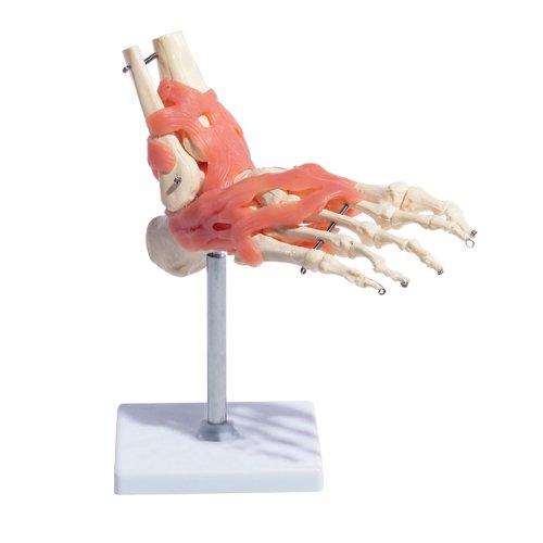 66Fit Unisex-Erwachsene Anatomisches Modell des Fußgelenkes mit Bändern