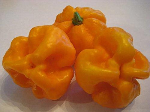 PLAT FIRM GERMINATIONSAMEN: 50 - Samen: Scotch Bonnet Orange Pepper - HEISS !!!!!Schöne Farbe!!!KOSTENLOSER VERSAND!!!!
