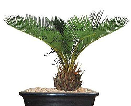 portal cool sago palma 3 semi cycas revoluta tropical fossil facile da coltivare cycad bonsai