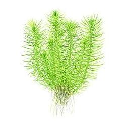 Tropica 1-2-Grow! Riccia fluitans 1 Stück
