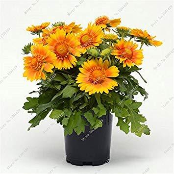 Gaillardia Pulchella semences Bonsai Chrysanthème Parfumée Fleur Graine Jardin Décoration, Houseplant croissance naturelle 100 Pcs