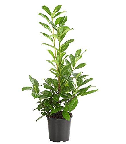 "Dehner Kirschlorbeer""Novita"", duftende weiße Blütenrispen, ca. 40-60 cm, Heckenpflanze"