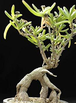 vegherb Mestoklema macrorrhizum Rare Mesemb Cacti Seed 15 Samen - Regime-kit