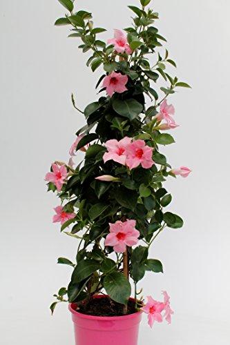 OBI Rosafarbene Blüten