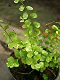 100x Lindsaea orbiculata Samen Farn Pflanze Garten Haus Neu B1715