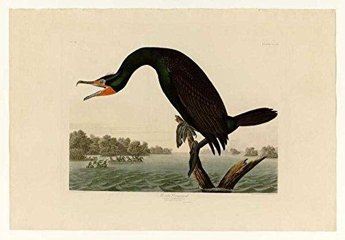 Das Museum Outlet-Audubon (- Florida Kormorane-Teller 252-Poster Print Online (A3Poster)