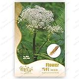 Confezione originale 30 semi / Pack, Angelica sinensis, semi di angelica sinensis, erba medica Angelica sinensis Semi, balcone bonsai