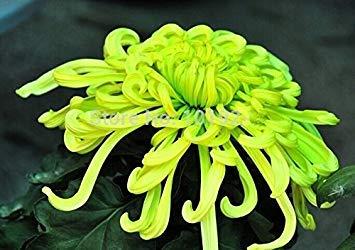 Vistaric Semillas de flores de crisantemo de arco iris de 100 piezas, bonsái ornamentales, colores raros, nuevos Elija más semillas de crisantemo Flor de jardín