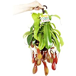 Planta carnívora - Nepenthes alata