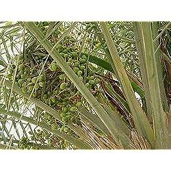 10 Samen von Edible Dattelpalme P35 (Phoenix Dactylifera)