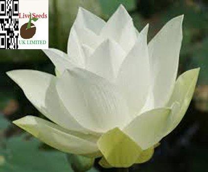 bonsai-lotus-wasser-lily-blume-bowl-pond-5-frische-samen-weiss-lotus