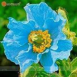 Rare Persian Blue papavero Papaver somniferum semi di fiore giardino domestico di DIY facile da coltivare 200 particelle / lot