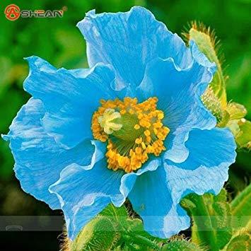 Rare Persian Blauer Mohn Papaver somniferum Blumensamen-DIY Hausgarten Einfach 200 Partikel zu wachsen / lot