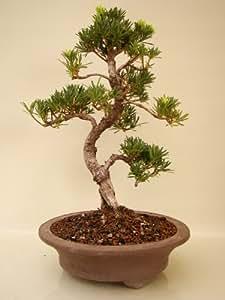 Bonsai Podocarpus (Steineibe), ca. 16 Jahre alt, ca. 55 cm hoch