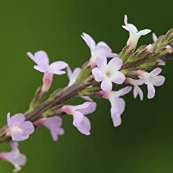 Verbena officinalis - Verbena - Spg - Semillas