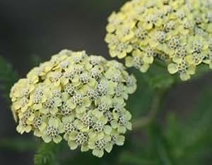 Helenion, Schafgarbe, Cremegelb (Pflanze) - Achillea 'Credo'