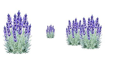 10 piante lavanda piantine (lavandula angustifolia) vaso 7x7