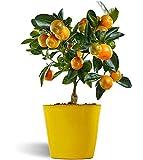 Calamondina - naranjo enano de interior - cítricos comestibles - maceta cerámica 12cm - planta viva (amarillo)