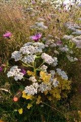 JustSeed Gemeine Schafgarbe/Achillea millefolium, Britische Wildblume, 6.000Samen