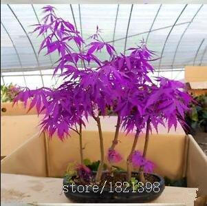 graines d'arbres 50 graines d'érable Bonsaï d'érable bleu graines d'érable japonais plantes de balcon pour le jardin à la maison
