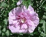 3 Stück Hibiscus 'Lavender Chiffon' -R- (Garteneibisch 'Lavender Chiffon' -R-)- 2 jährig- Topfware 15-20 cm