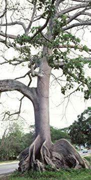 Homely 10 graines Ceiba Pentandra, Kapok Tree Graines de bonsaï en coton et fleurs tropicales