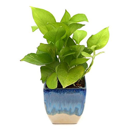 Exotic Green Nice Indoor Oxygen & Air Purifier Plant Golden...